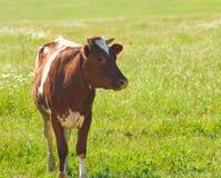 Mucca del Brown sul prato verde. Fotografia Stock