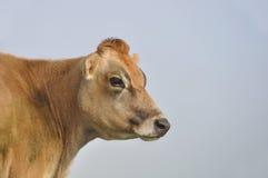 Mucca del Jersey Immagine Stock Libera da Diritti