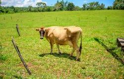 Mucca del Jersey che pasce nell'erba verde e che esamina la macchina fotografica tramite il recinto caduto in rovina Fotografie Stock Libere da Diritti