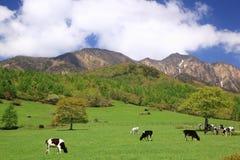 Mucca del plateau Fotografia Stock Libera da Diritti