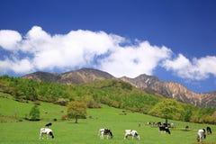 Mucca del plateau Immagini Stock