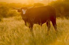 Mucca del toro Fotografia Stock Libera da Diritti