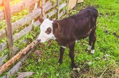 Mucca del toro del vitello nella penna di un villaggio Immagine Stock Libera da Diritti