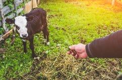 Mucca del toro del vitello nella penna di un villaggio Immagini Stock Libere da Diritti