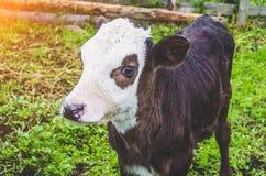 Mucca del toro del vitello nella penna di un villaggio Fotografia Stock