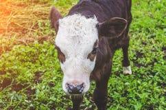 Mucca del toro del vitello nella penna di un villaggio Immagine Stock
