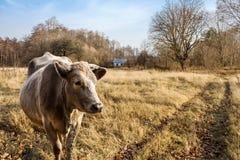 Mucca del villaggio Immagini Stock