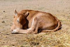 Mucca del vitello in azienda agricola Fotografie Stock