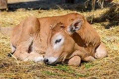 Mucca del vitello in azienda agricola Immagini Stock Libere da Diritti