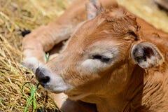 Mucca del vitello in azienda agricola Immagine Stock