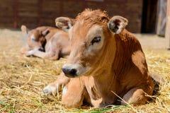 Mucca del vitello in azienda agricola Fotografia Stock