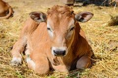 Mucca del vitello in azienda agricola Immagine Stock Libera da Diritti