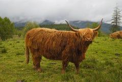 Mucca dell'abitante degli altipiani scozzesi Fotografia Stock