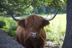 Mucca dell'abitante degli altipiani scozzesi Fotografie Stock Libere da Diritti