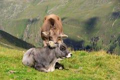 Mucca dell'alpe Immagini Stock Libere da Diritti