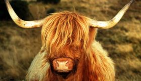 Mucca dell'altopiano con buoni capelli Fotografia Stock Libera da Diritti