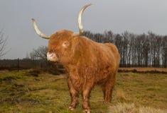 Mucca dell'altopiano con i corni lunghi Fotografie Stock Libere da Diritti