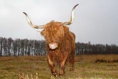Mucca dell'altopiano con i corni lunghi Fotografie Stock