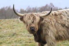 Mucca dell'altopiano con i grandi corni nella regione selvaggia Immagine Stock