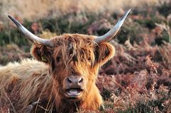 Mucca dell'altopiano con molto da dire fotografie stock