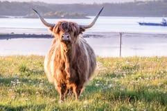 Mucca dell'altopiano con un lago scozzese nei precedenti Fotografie Stock Libere da Diritti