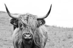 Mucca dell'altopiano di Brown in bianco e nero fotografie stock libere da diritti