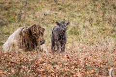 Mucca dell'altopiano ed il suo vitello del bambino Fotografie Stock