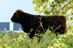 Mucca dell'altopiano nel parco - solo immagine stock