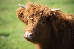 Mucca dell'altopiano sull'azienda agricola fotografia stock libera da diritti