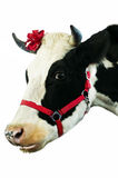 Mucca dell'animale domestico. Fotografia Stock Libera da Diritti