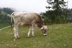 Mucca dell'Austria che mangia l'erba Fotografia Stock