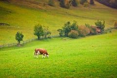 Mucca dell'ayrshire Fotografia Stock