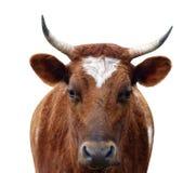Mucca dell'ayrshire con i corni Fotografia Stock