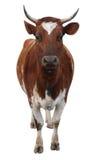 Mucca dell'ayrshire con i corni Fotografia Stock Libera da Diritti