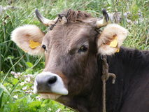 Mucca dell'azienda agricola Immagini Stock Libere da Diritti