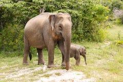 Mucca dell'elefante che cammina con l'elefante del bambino nel parco nazionale di Yala fotografie stock libere da diritti