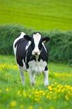 Mucca dell'Holstein immagini stock
