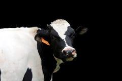 Mucca dell'Holstein fotografie stock libere da diritti