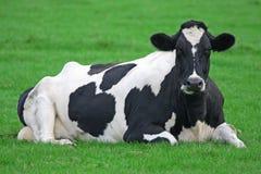 Mucca dell'Holstein Fotografia Stock