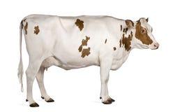 Mucca dell'Holstein, 4 anni, levantesi in piedi Fotografie Stock