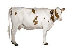 Mucca dell'Holstein, 4 anni, levantesi in piedi Fotografia Stock