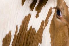 Mucca dell'Holstein, 4 anni, vicini in su sull'occhio Fotografia Stock