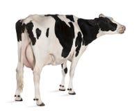 Mucca dell'Holstein, 5 anni, levantesi in piedi Immagini Stock