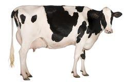 Mucca dell'Holstein, 5 anni, levantesi in piedi