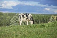Mucca dell'Holstein che pasce Fotografia Stock Libera da Diritti