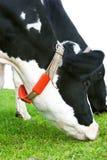 Mucca dell'Holstein che pasce in un pascolo Fotografia Stock Libera da Diritti
