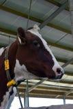 Mucca dell'Holstein dell'olandese in agricoltori stabili fotografia stock libera da diritti