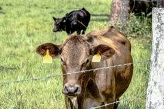 Mucca dell'ibrido di Brown dietro filo spinato Fotografia Stock Libera da Diritti