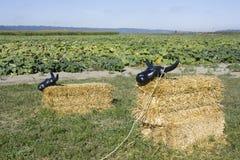 Mucca della balla di fieno all'azienda agricola della zucca Fotografia Stock