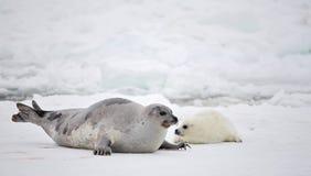 Mucca della foca della Groenlandia e pup appena nato su ghiaccio Fotografie Stock Libere da Diritti